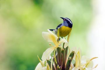 Zuckervogel oder Bananaquit auf einer Blüte