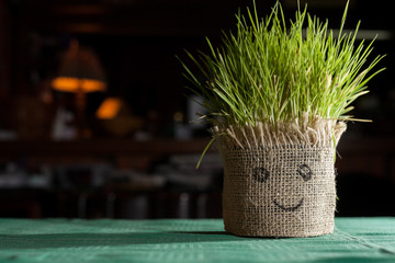 wheat grass growing out of a pot covered with cloth