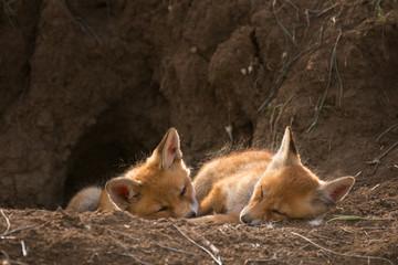 Two young Fox sleep near his hole