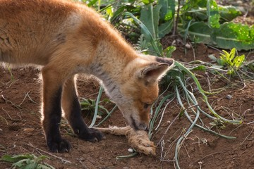 Little Fox Fox with the remains of a prey