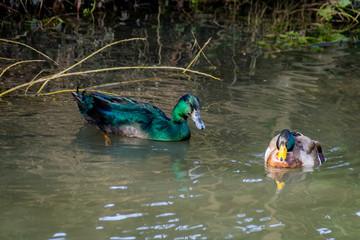 Cayuga duck, green iridescent feathers with dark coloured beak, with male drake mallard ducks