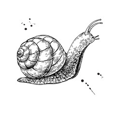 Snail vector drawing. Hand drawn isolated sketch. Engraved anima