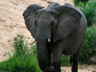 World's largest land mammal - African elephants are the world's largest land animals. The trunk is an extension of the upper lip and nose and is used for communication and handling objects, including