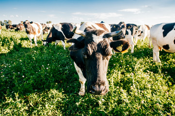 Herd of  black and white cows in summer sunny field in countryside on pasture. Funny mammal animals wildlife outdoor at nature on green field. Livestock and cattle breeding. Agriculture at farm.