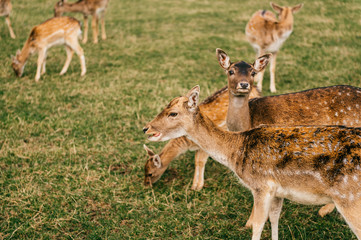 Group of roe deers wildlife in zoo outdoor in summer. Doe and fawn in Eatern Europe nature territory. Mammal  beautiful animals habits. Big deer family outdoor eating grass. Herbivore lifestyle.