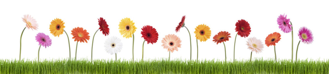 Gerber daisies in grass isolated on white