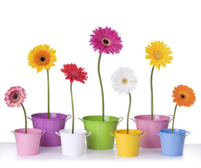 Gerber daisies in flower pots isolated on white