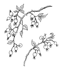 Branch of wild rose with fruits, black and white contour vector illustration.