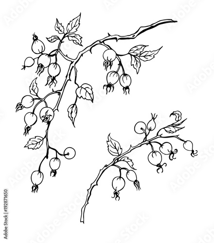 Branch Of Wild Rose With Fruits Black And White Contour Vector