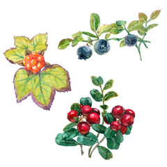 Set of forest berries with leaves: cloud berry, bilberry and cow berry. Realistic watercolor painting on white background.