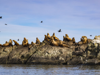 Herd of Steller Sea Lions (Eumetopias jubatus)