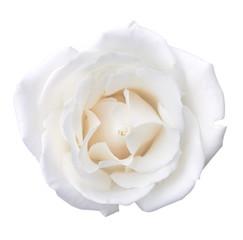 White Rose Flower Head Isolated on White