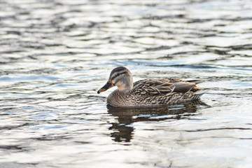 Natural background: a lot of ducks and drakes swim on the water, wintering waterfowl