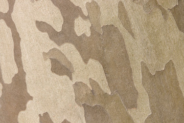 Platan tree bark texture detailed view of tree bark natural texture background