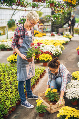 Two positive pretty florist female employee working in the sunny greenhouse while taking flowers from wooden box.