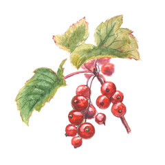 Watercolor painting - red currant. Red berries with green leaves. Hand-painted illustration isolated on white background.