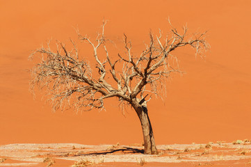 Dead acacia tree in front of a dune in the Namib Desert / Dune and dead acacia tree in the Namib desert, Sossusvlei, Namibia, Africa.