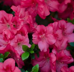 A lot of pink azaleas. Flower garden