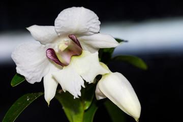 Dendrobium sanderae var. major