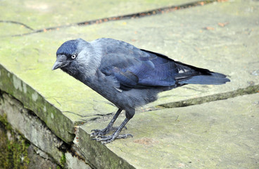 european jackdaw perched on top of a stone wall looking down