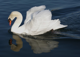 Mute swan in its habitat