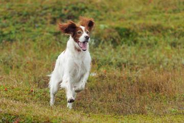 Red and white gun dog running against background  green grass