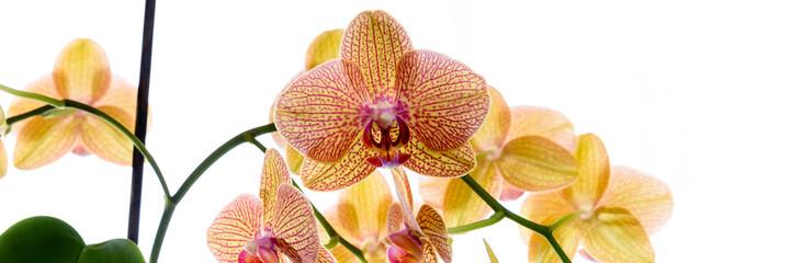 Photo Blinds Orchid Gelbe Orchidee isoliert vor weißem Hintergrund - Banner