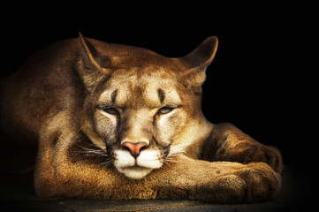 cougar portrait on black background