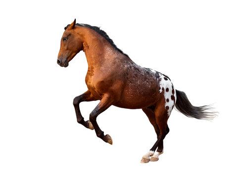 running free appaloosa horse isolated on white background