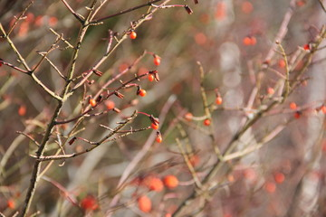 red berries on a bush in winter