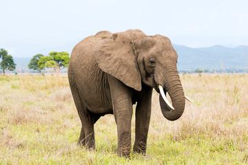 African elephant in the savanna