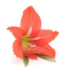 Flower of pink amaryllis.