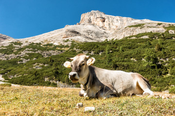 Landscape view with cow of Unesco World Heritage site Dolomiti, Alta Badia, Italy