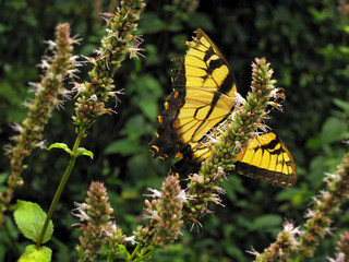Shenandoah Butterfly | Macro Photography