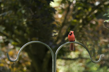 Cardinal Male on a Pole