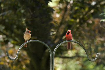 Cardinals Male and Female on a Pole