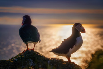 Puffin couple sunset