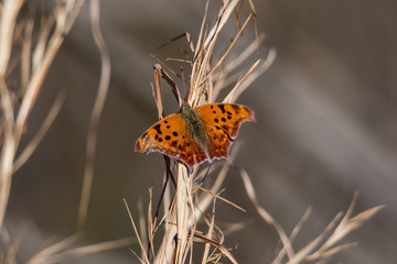 Orange butterfly sitting on brown wheat in winter in North Carolina