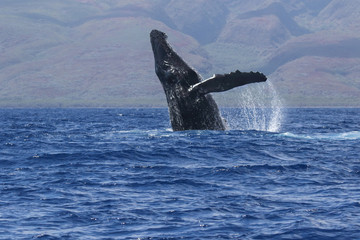 Large humback whale breaching on Maui.