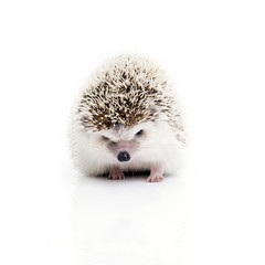 Front view of little hedgehog looking something.