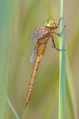 Side view of Green eyed hawker on  reed background