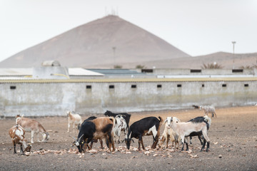 Domestic goats. Lanzarote. Canary Islands. Spain