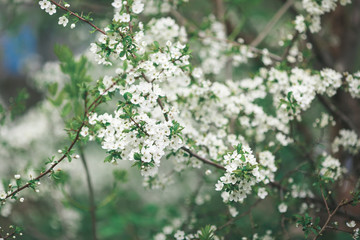 beautiful spring background with blossoming branches of white cherry tree.