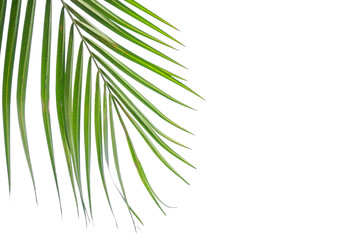 Green leaf of Coconut palm tree isolated on white background .