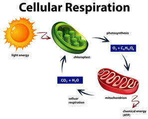 Diagram showing cellular respiration
