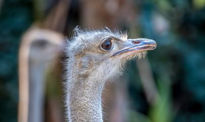 Ostrich in close up