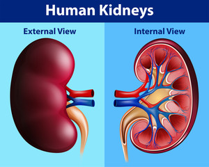 Human anatomy diagram with kidneys