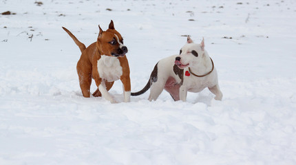 Two american staffordshire terrier puppys are playing on a white snow. Seven month old.