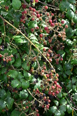 Ripe unripe and ripening blackberry fruits on thorny branches.