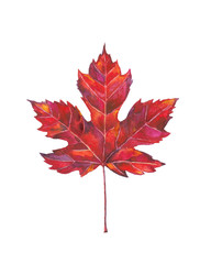 Maple leaf watercolor painting